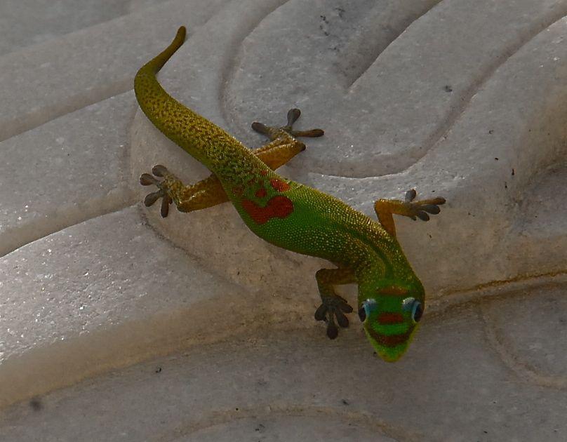 Hawaiian Gecko
